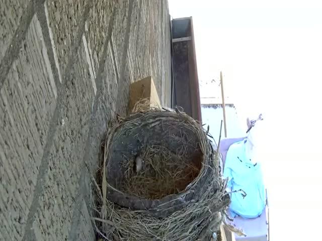 Ястреб похитил молодых птенцов зарянки