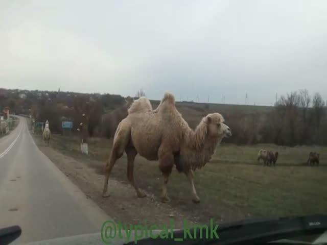 Верблюды переходят дорогу в Краснодарском крае