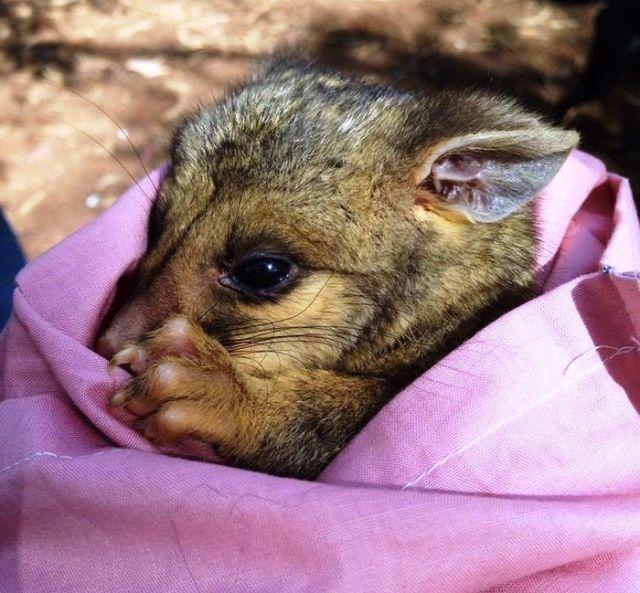 Неожиданный гость в утином гнезде (2 фото)