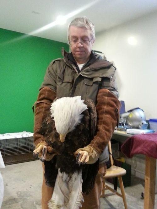 Спасение огромной белоголовой орлицы (7 фото)