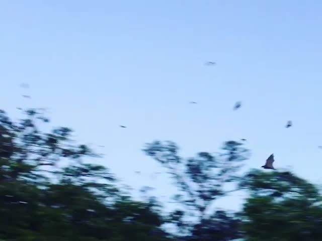 Нашествие летучих лисиц на австралийский город Чартерс-Тауэрс