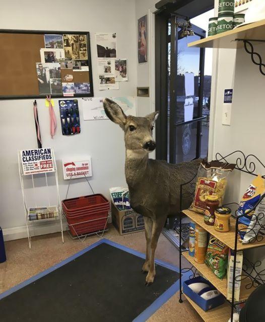 В Колорадо семья оленей пришла в магазин (6 фото)