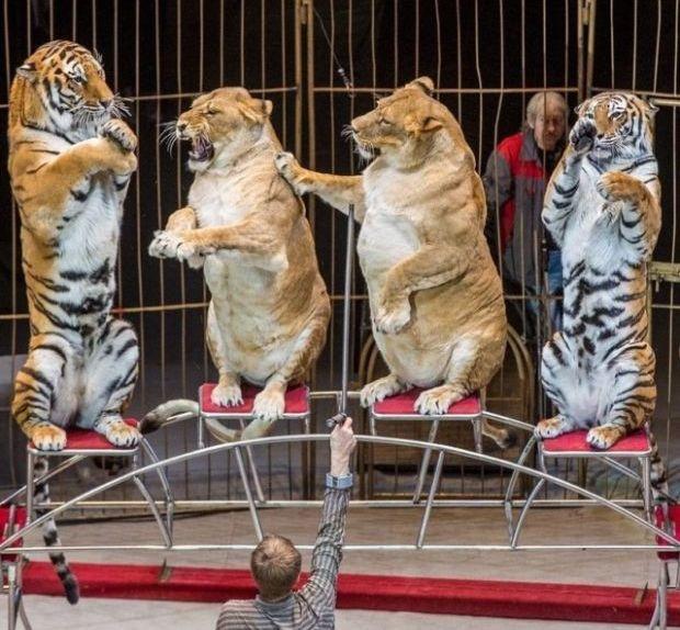 Упитанные львицы в цирке Владивостока (4 фото)