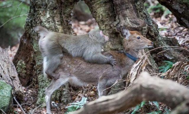 В Японии самки макак стали выбирать оленей в качестве сексуальных партнеров (5 фото)