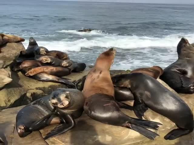 Морские львы захватили побережье Сан-Франциско