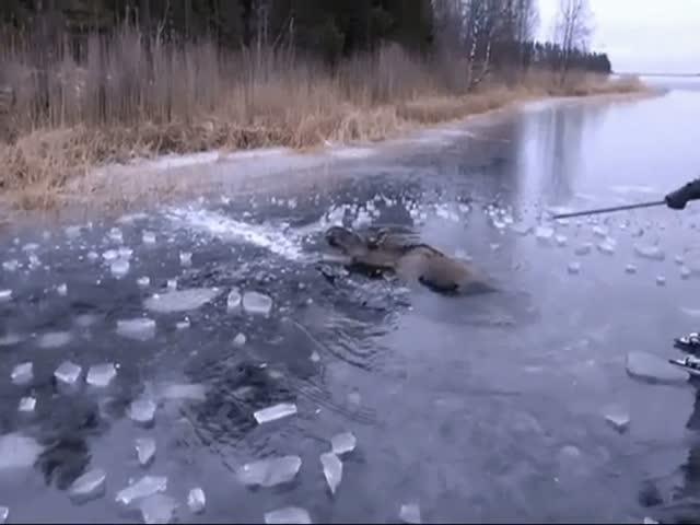 Спасение лося из ледяного плена