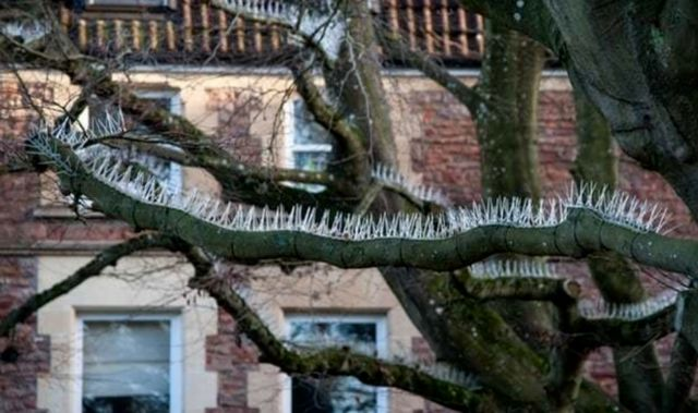 Шипы на деревьях в Бристоле (3 фото)