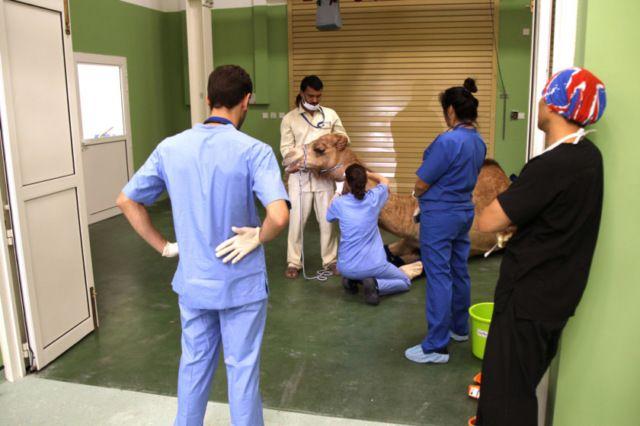 В Дубае открылся первый в мире госпиталь для верблюдов (6 фото)