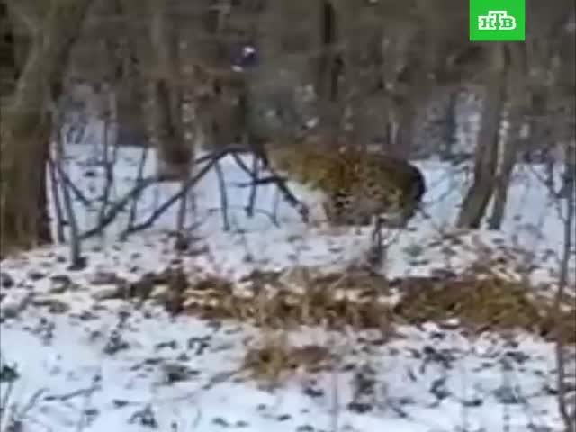 Любопытная самка дальневосточного леопарда попала на видео
