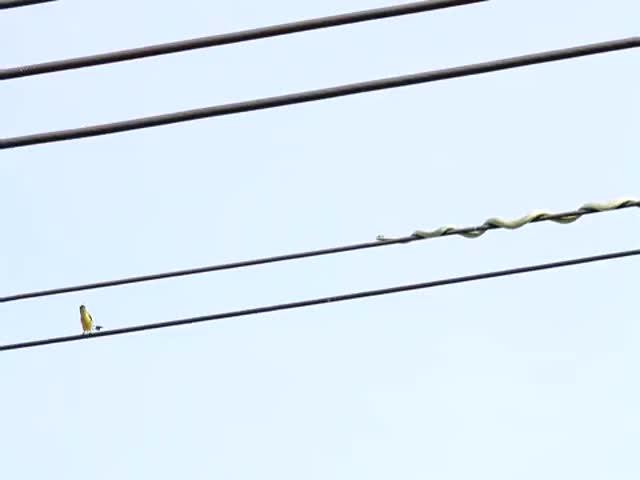 Змея ловко передвигается по проводам