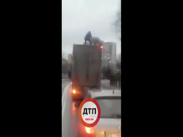 Борьба мужчины и свиньи на крыше фуры