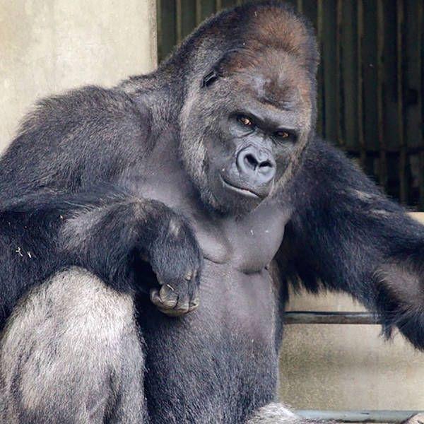 В японском зоопарке живет невероятно красивый самец гориллы (13 фото)