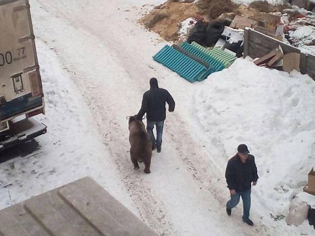 Медведи под окнами офиса в Иркутске (2 фото)