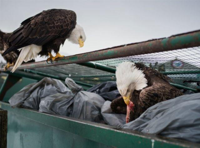 Назойливые орланы Аляски (10 фото)