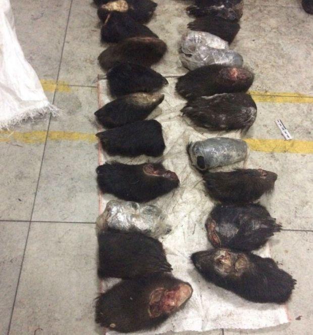 В Забайкалье задержали контрабандный груз из сотен медвежьих лап (2 фото)