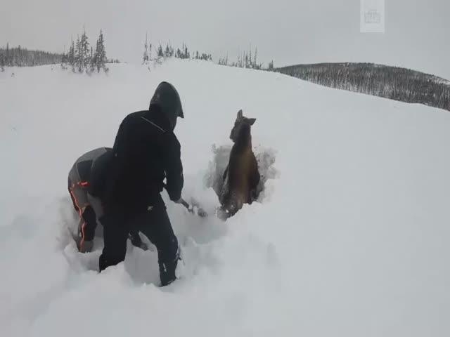 Спасения лося в Канаде