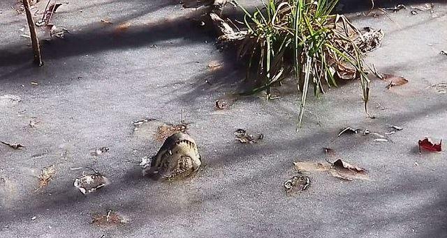 Как аллигаторы переживают холода (3 фото + видео)