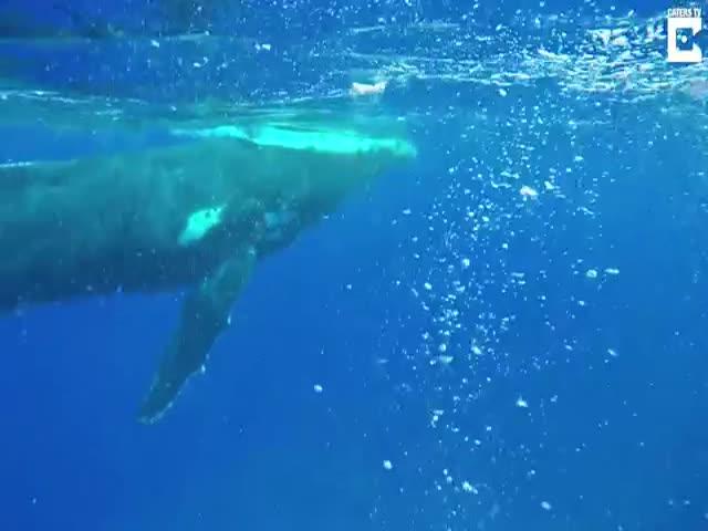 Горбатый кит спас женщину от нападения тигровой акулы
