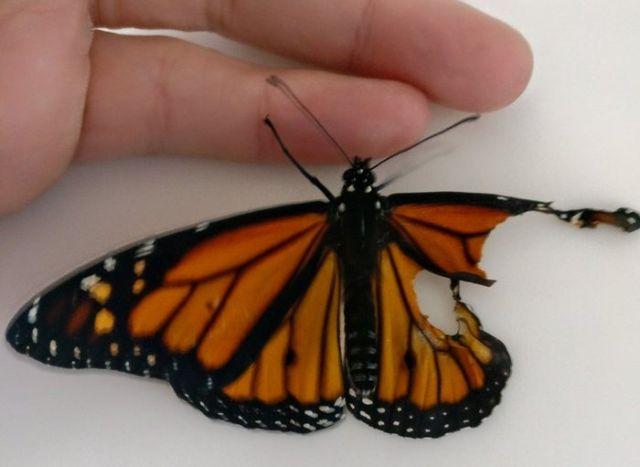 Спасение бабочки Монарха (7 фото)