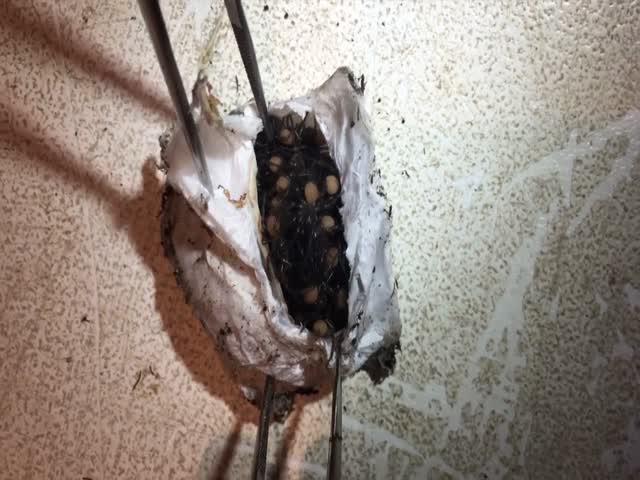 Рождение сиднейских лейкопаутинных пауков