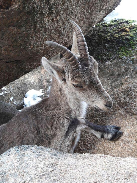 Туристы спасли горного козла (3 фото + видео)