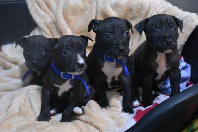 Актер Том Харди помог обрести дом четырем щенкам (5 фото)