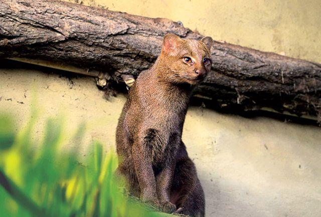 Ягуарунди - необычная кошка из Америки (7 фото)