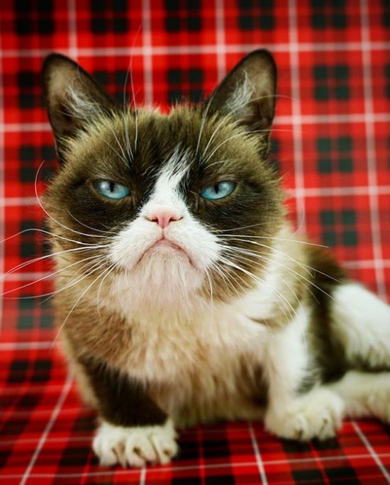Суд над мемом принес хозяйке Grumpy Cat («Сердитая кошка») сотни тысяч долларов (2 фото)
