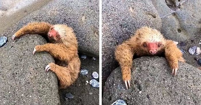 Застрявший в камнях ленивец ждал смерти во время прилива... (4 фото)