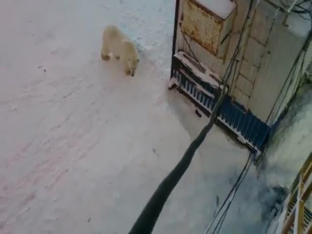 Белый медведь в гостях у вахтовиков