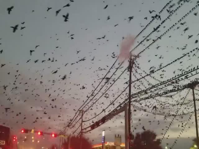 Нашествие птиц в Техасе