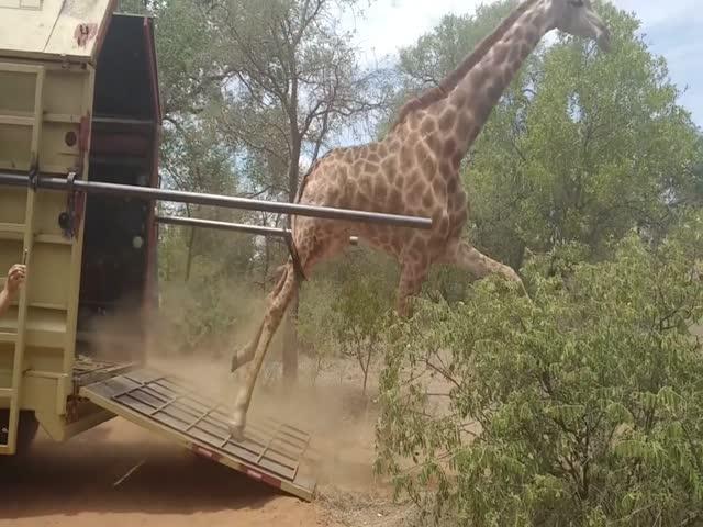 Жирафов отпускают на волю