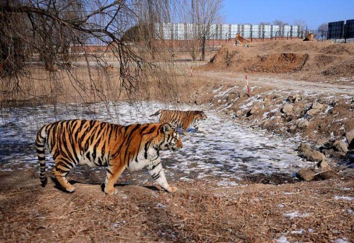 Тучные тигры в китайском зоопарке не боятся морозов (8 фото)