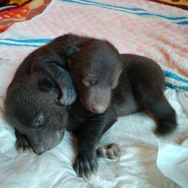 В Новой Москве обнаружили двух новорожденных медвежат (2 фото)