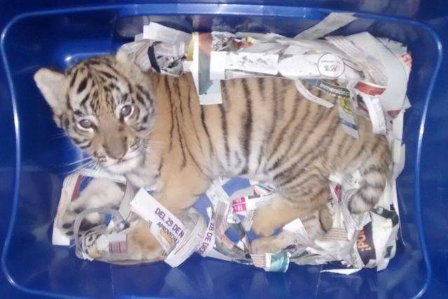 Мексиканец отправил по почте тигренка (3 фото)