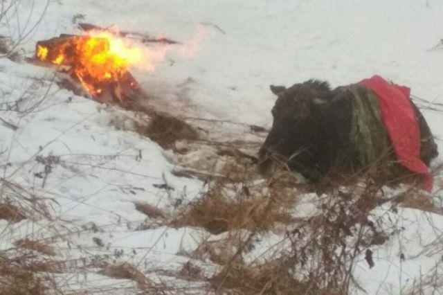 Как спасатели вытаскивали лося из ледяного плена (3 фото)