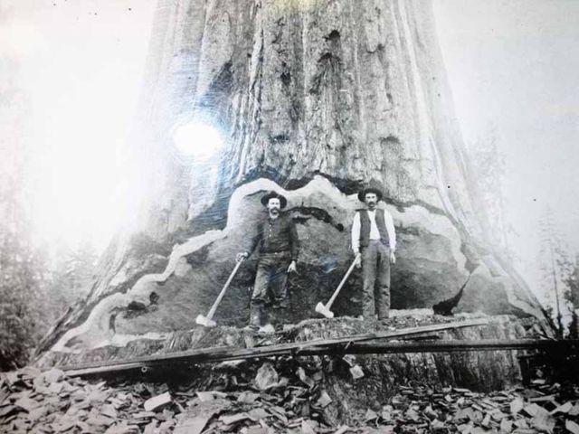Никто не видел как умирают секвойи (11 фото)