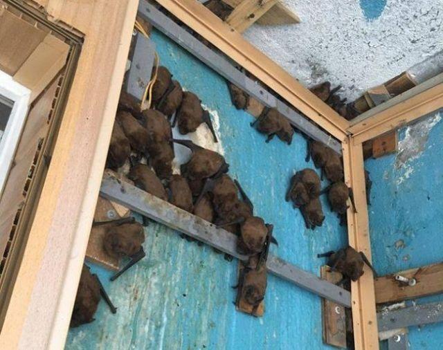 Ремонт балкона превратился в операцию по спасению летучих мышей (3 фото)