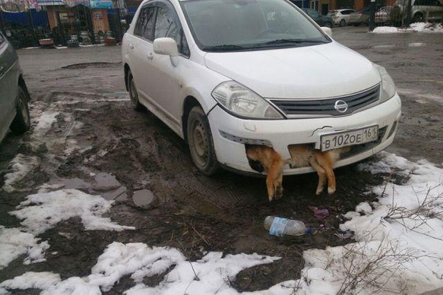 Депутат ездил по Таганрогу с застрявшей в бампере сбитой собакой (2 фото)