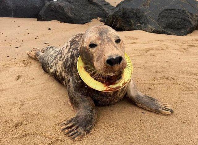 На побережье Британии найден тюлень с кольцом на шее (5 фото)