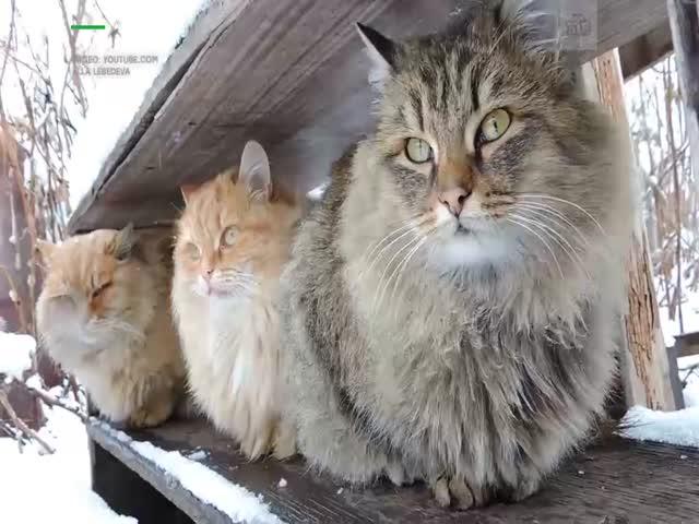 Выживет самый зимоустойчивый кот