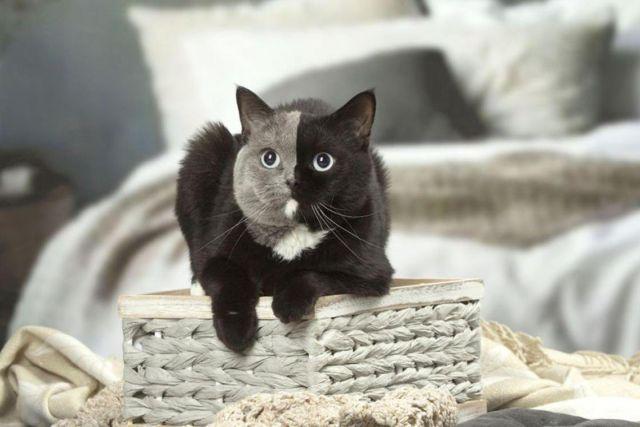 Двуликий кот Нарния – чудо кошачьего мира (6 фото)