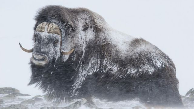 Мощные животные противостоят снежной буре (3 фото)