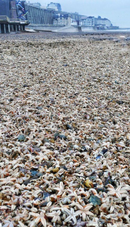 «Армагедон морских звезд» на пляжах Великобритании (5 фото)