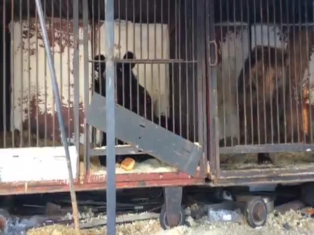 Циркачи не смогли прокормить медведей и бросили их в Самаре