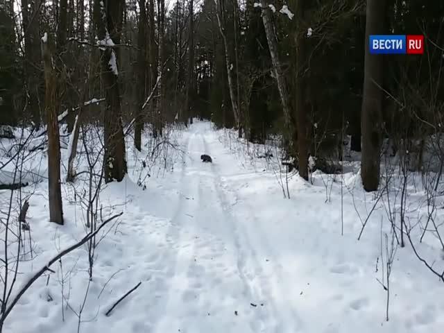 Лыжник оказался жертвой нападения енота