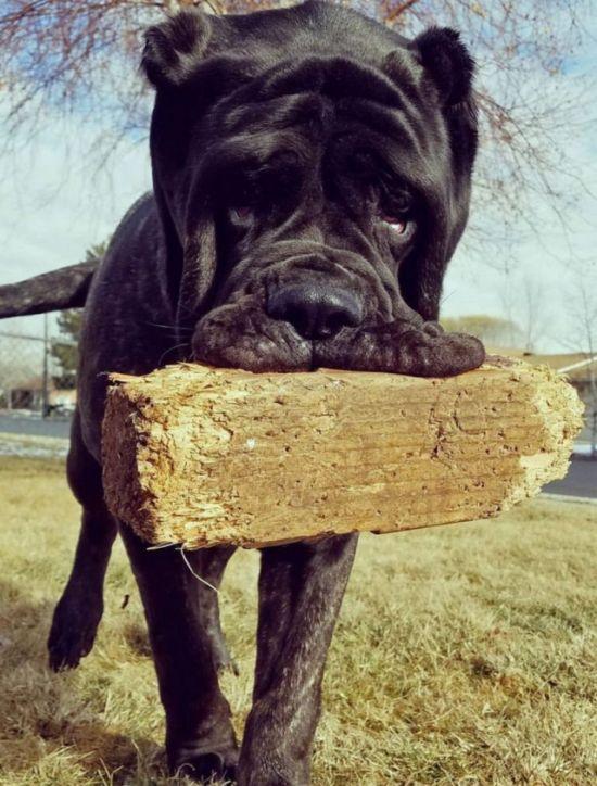 Самый большой в мире щенок, потомок месопотамского молосса (8 фото)