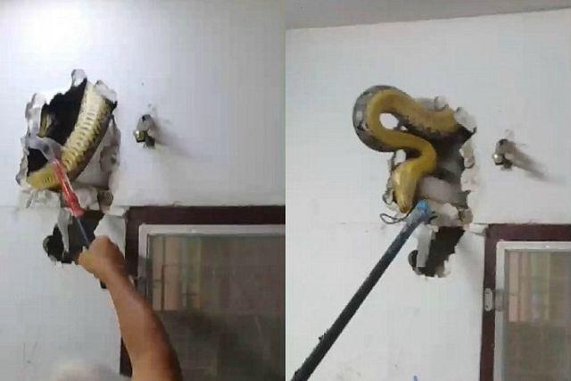 Житель Таиланда обнаружил непрошеного гостя в стене своего дома (4 фото)