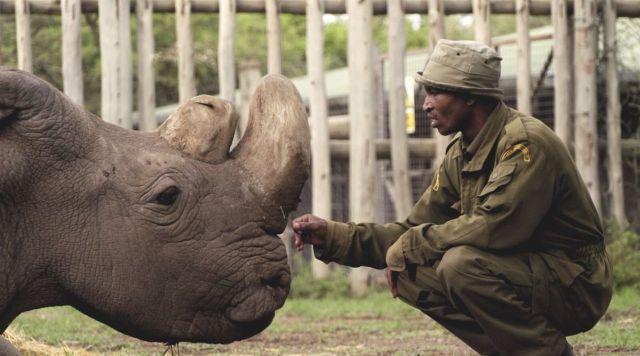 Умер последний в мире самец северного белого носорога (3 фото)