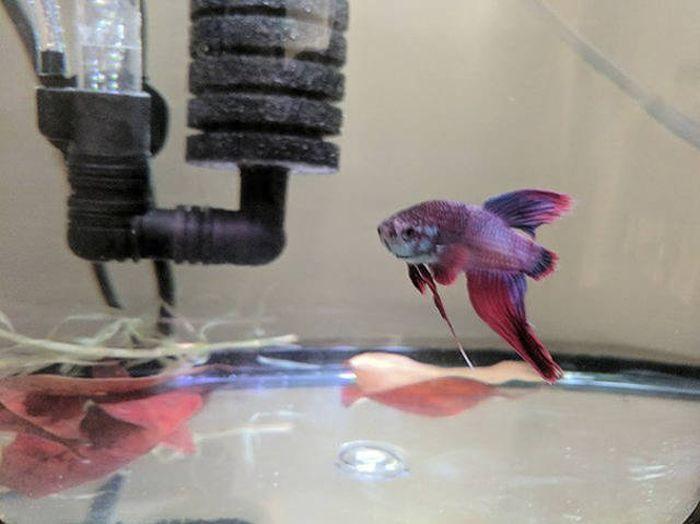 Спасение аквариумной рыбки (9 фото)